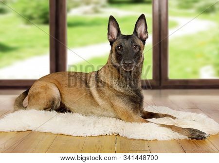 Pedigree Belgian Shepherd Dog Malinois Dog Lying On A Fur Rug On The Living Room Floor On The Backgr