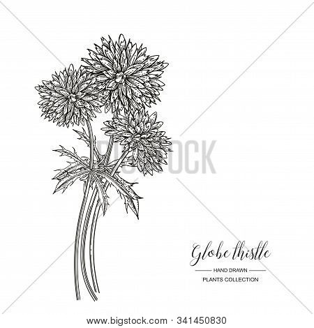 Globe Thistle Flowers Isolated On White Background. Medicinal Plants Collection. Vector Illustration