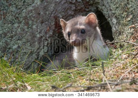 Stone Marten, Martes Foina, With Clear Green Background. Beech Marten, Detail Portrait Of Forest Ani