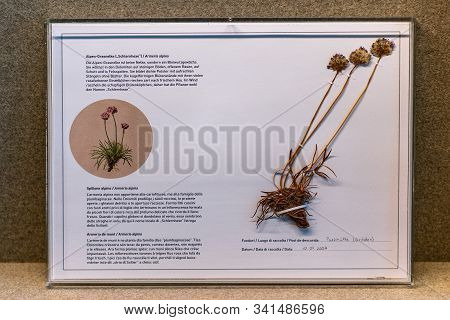 St. Magdalena, South Tyrol, Italy -  October 23, 2019: Display Of Alpine Thrift Flowers (armeria Alp