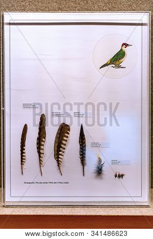 St. Magdalena, South Tyrol, Italy -  October 23, 2019: Display Of Feathers Of A Green Woodpecker (pi