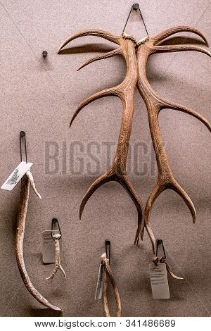 St. Magdalena, South Tyrol, Italy -  October 23, 2019: Display Of Antlers Of Alpine Deer At The Natu