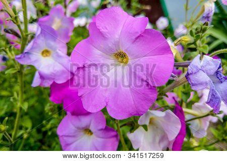 Geranium Grandiflorum, Regal Geranium. Elegance Jeanette Flower