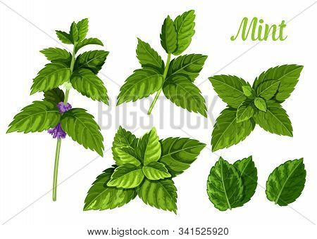 Set Of Isolated Mint Leaves Or Peppermint Leaf, Green Spearmint Foliage Or Menthol Herb, Plant Sprig