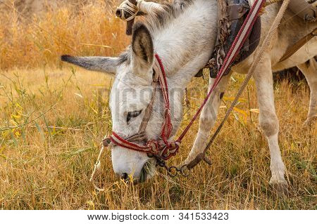 Donkey Eating Grass In The Pasture, Donkey Head