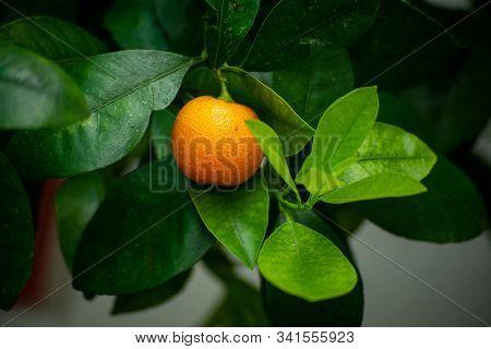 Ripe Juicy Sweet Orange Mandarins On A Tree In The Mandarin Orchard. Selective Focus. Mandarin Orang