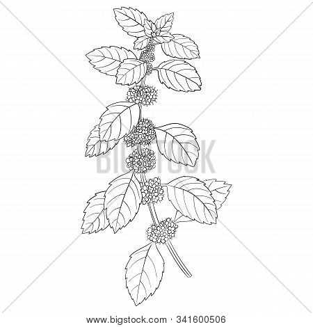 Vector Drawing Peppermint Flower, Mentha Piperita, Hand Drawn Illustration