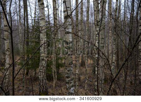 Birch Trunks In The Late Autumn Forest.