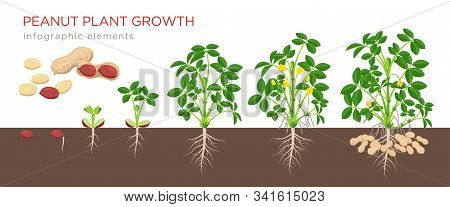 Peanut Growing Stages Vector Illustration In Flat Design. Planting Process Of Groundnut Plant. Peanu