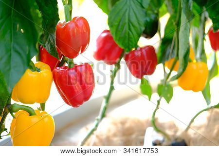 Sweet Bell Pepper Paprika Plant Growing In Farm. Vegatable Plantation  In Garden