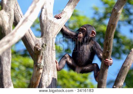 Climbing Ape