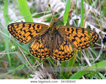 Small Pearl Bordered Fritillary Butterfly