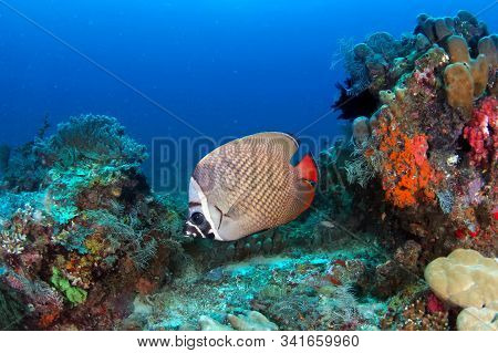 Multicolored Coral Reef With Tropical Fish - Redtail Butterflyfish Chaetodon Collare Fish.