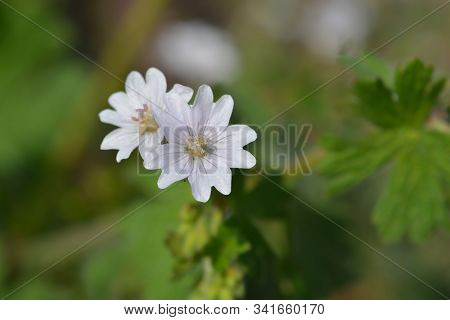 White Pyrenean Cranesbill - Latin Name - Geranium Pyrenaicum