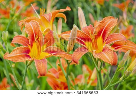 Daylily Is Brown-yellow In A Flowerbed Against Foliage. Hemerocallis Fulva