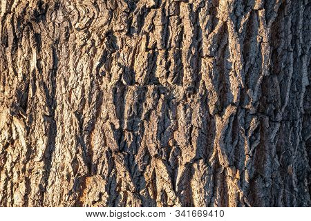 Texture Of Embossed Bark Of An Old Maple. Texture Of The Bark Of Old Maple Tree. Cracked Bark, Embos