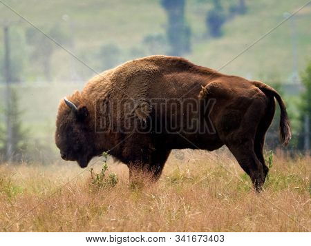 small herd of European bison (Bison bonasus), also known as Wisent or the European wood bison grazing