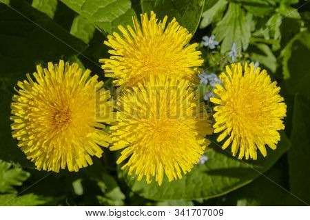 Four Yellow Blooming Dandelion Close-up Against The Background Of Foliage