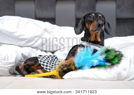 Cute Black And Tan Dachshund Wearing Maid Costume Lay With Feather Duster On White Bed Or Sofa. Home