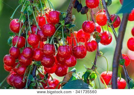 New Harvest Of Prunus Cerasus Sour Cherry, Tart Or Dwarf Cherry In, Sunny Garden With Cherry Trees