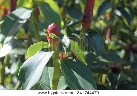 Red Ginger Plant Leaves Growing In Garden
