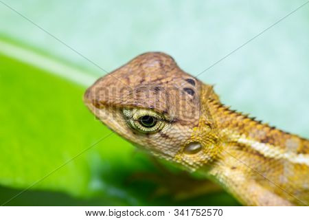 Beautiful Brown Chameleon On Green Leaf In Forest