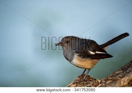 Oriental Magpie Robin Or Copsychus Saularis Also Bangladesh National Bird Close Up At Keoladeo Natio