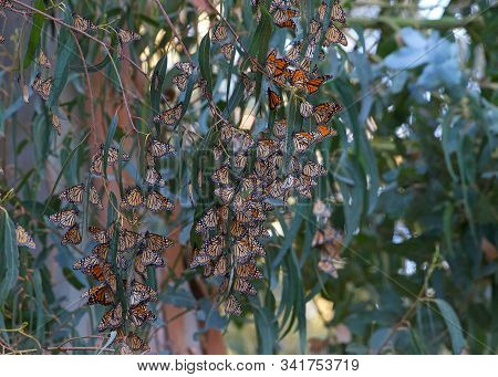 Many Monarch Butterflies In A Eucalyptus Tree, Clustering Together To Keep Warm As The Temps Drop In