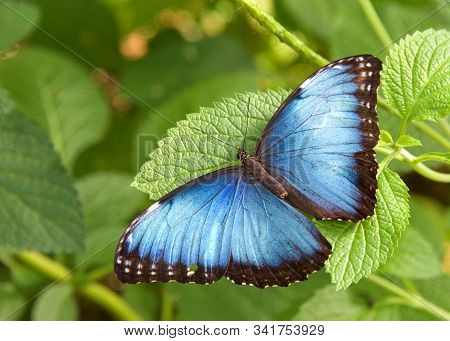 Bne Blue Morpho Butterfly From Above, Resting On Green Leaves With Wings Opened To Reveal Bright Blu