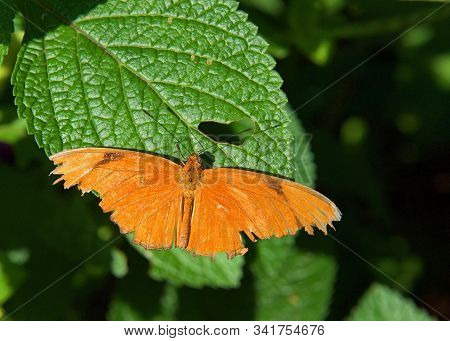 Orange Dryas Julia, Commonly Called The Julia Butterfly, A Species Of Brush Footed Butterfly, Restin