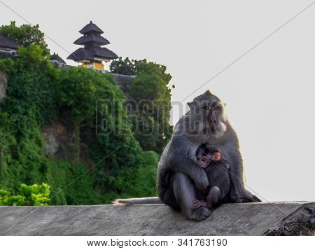 Two Macaque Monkeys On A Wall At Uluwatu Temple On Bali