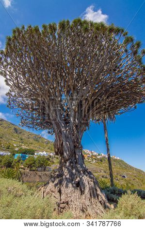 Millennial Drago Tree Symbol Of The Village Of Icod De Los Vinos. April 14, 2019. Icod De Los Vinos,
