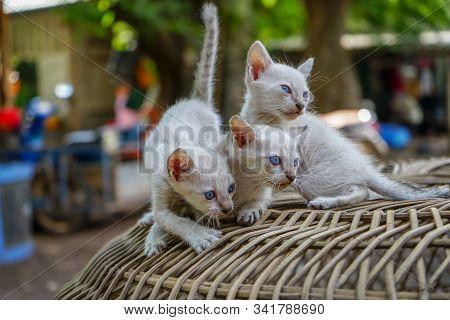 Siamese Kittens On The Basketwork, Portrait Of Thai Cat