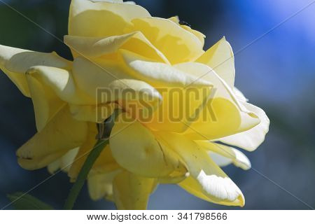 Isolated Pink Garden Rose Flower Close Up