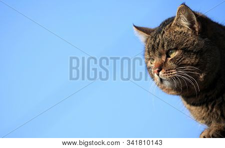Fat сat With Thick Cheeks And Dense Wool Is Sitting On The Fence On The Blue Background. A Well-fed