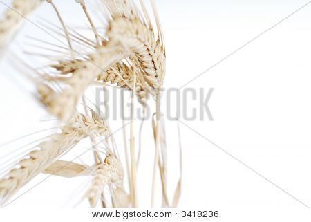 Vida de trigo