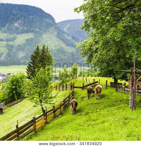 Morning Mist And Rain Over The Austrian Landscape With Forests, Fields, Meadows And Villages.  Cows