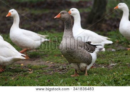 A Flock Of Domestic White Geese Walk Across A Rural Poultry Yard.  Home Goose Geese On Poultry Farm