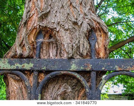 Tree With Wrought Metal Fence Grown Into. Tree With Wrought Metal Fence Grown In To The Bark. Old Tr