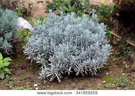 Broadleaved Lavender Or Lavandula Latifolia Or Spike Lavender Or Portuguese Lavender Flowering Stron