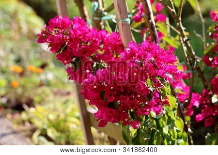 Closeup Of Bougainvillea Thorny Ornamental Hardy Vine Plant With Dense Colourful Pink Sepal Like Bra