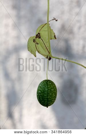 Cucamelon Or Melothria Scabra Or Mouse Melon Or Mexican Sour Gherkin Or Mexican Miniature Watermelon
