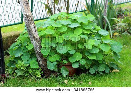 Garden Nasturtium Or Tropaeolum Majus Or Indian Cress Or Monks Cress Flowering Annual Plant With Lar