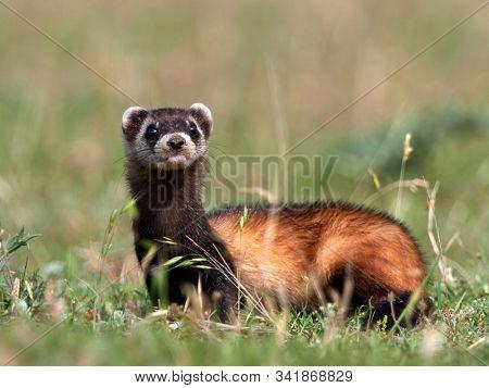 The steppe polecat (Mustela eversmanii) in natural habitat