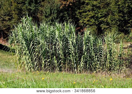 Giant Reed Or Arundo Donax Or Giant Cane Or Elephant Grass Or Carrizo Or Arundo Or Spanish Cane Or C