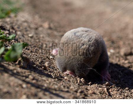 lesser mole rat ( nannospalax leucodon ) in natural habitat