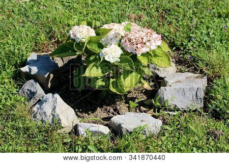 Hydrangea Or Hortensia Flowering Garden Shrub With Bunches Of Small White And Light Pink Flowers Wit