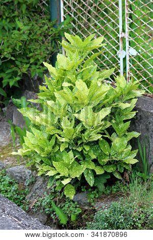 Japanese Laurel Or Aucuba Japonica Or Spotted Laurel Or Gold Dust Plant Or Japanese Aucuba Dioecious
