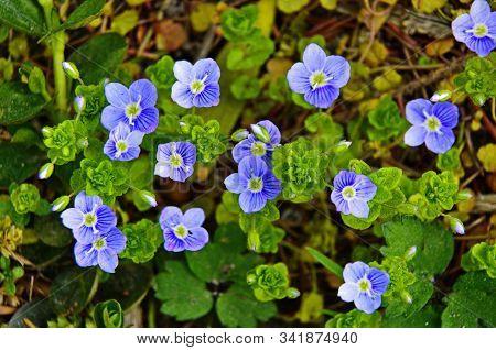 Veronica Chamaedrys - Blue Blossoms