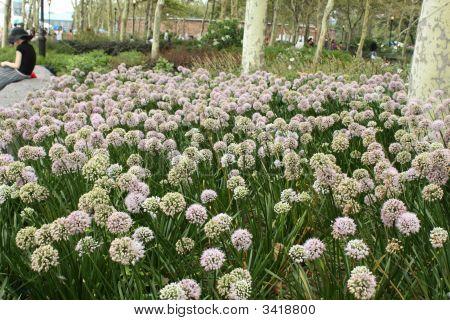Field Of Dandelions Like A Field Of Dreams In Battey Park